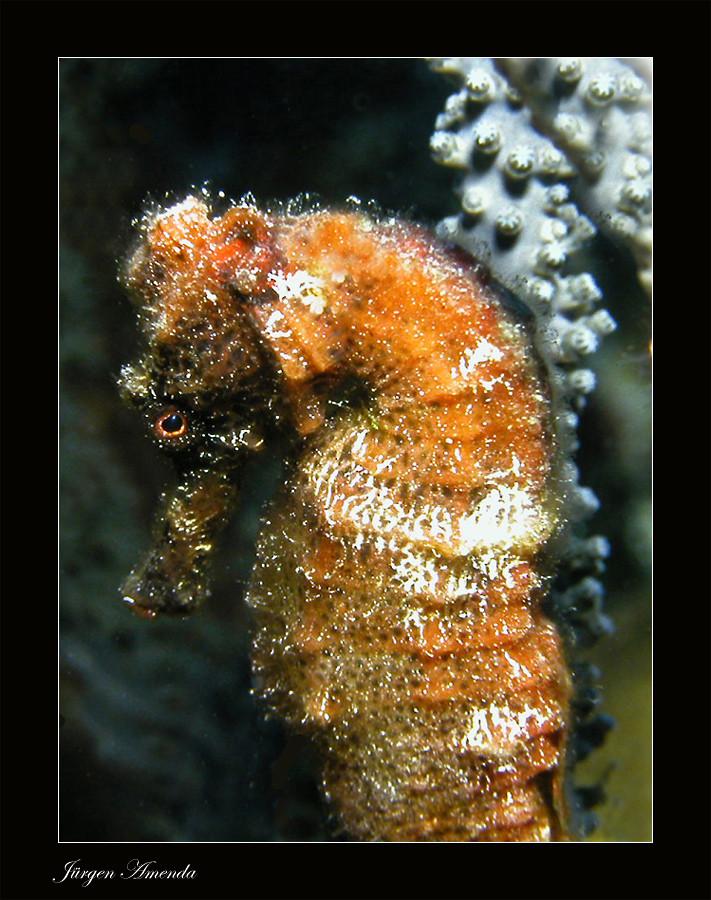 ....Seahorse....