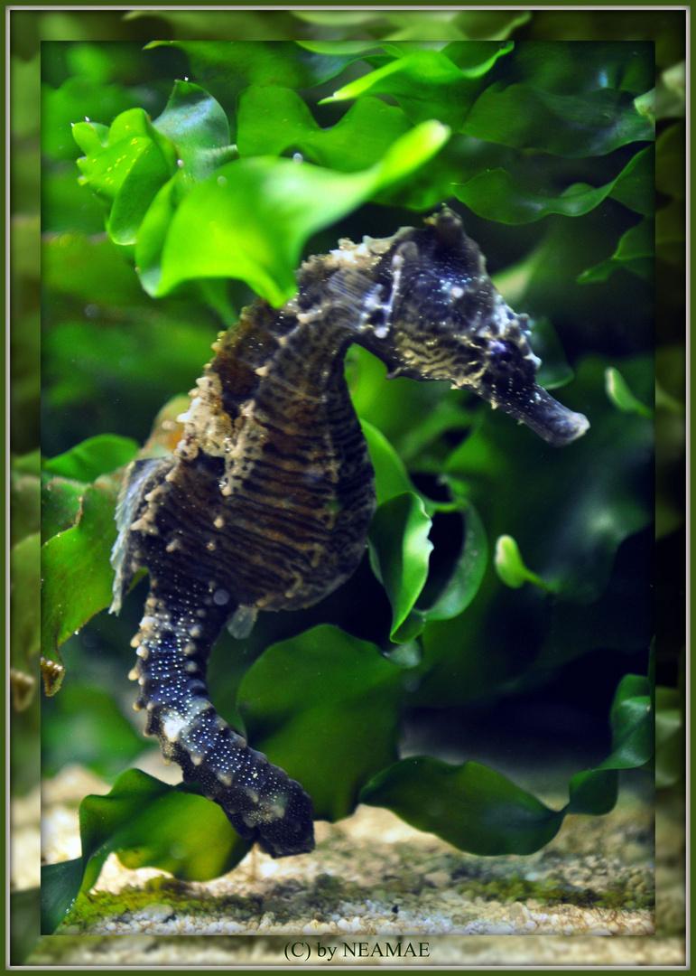 Seahorse Beauty