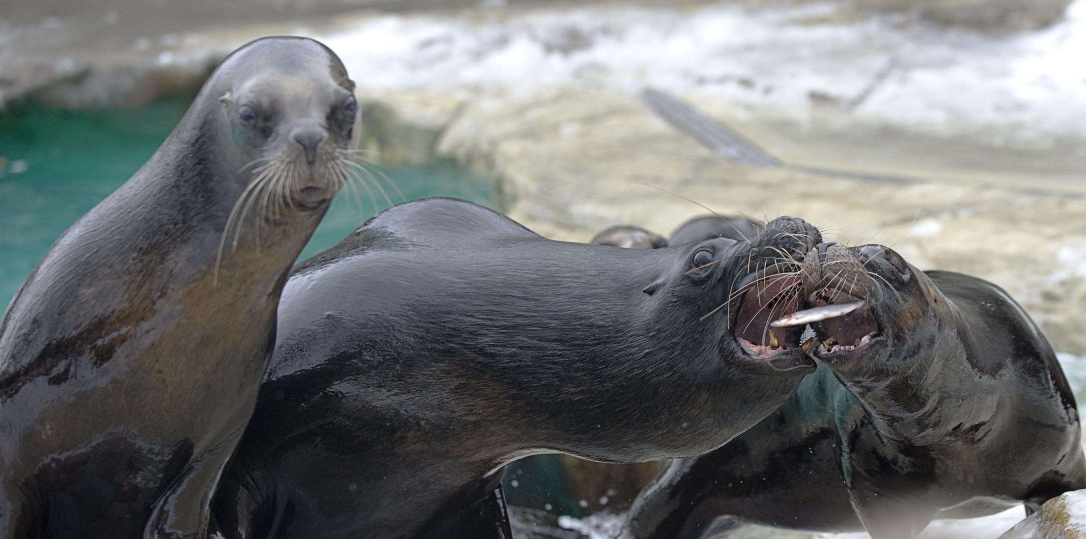 Seal Feeding #4