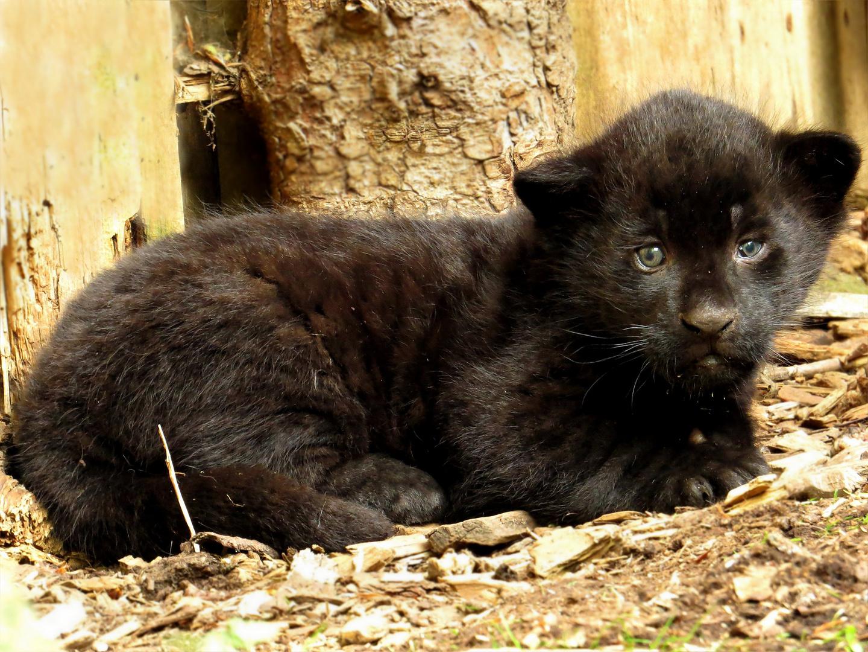 Sechs Wochen alter Jaguar