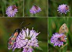 Sechsfleck-Widderchen und großes Ochsenauge auf Acker Witwenblume
