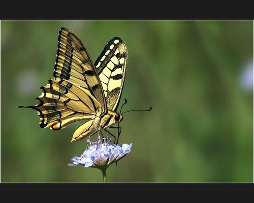 Secondo farfalle gradese