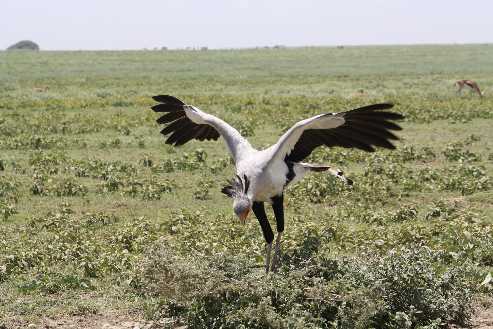Secretary Bird - Serengeti