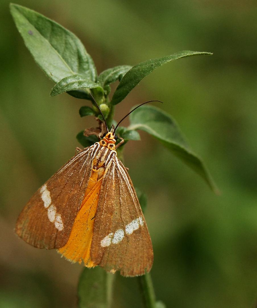 .....Secusio strigata, Erebidae: Arctiinae: Nycteme.....
