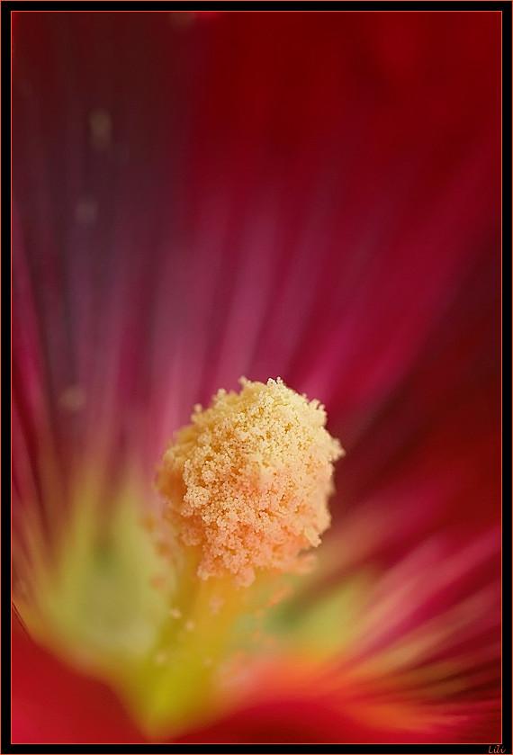 Séduction(Rose trémière pourpre)
