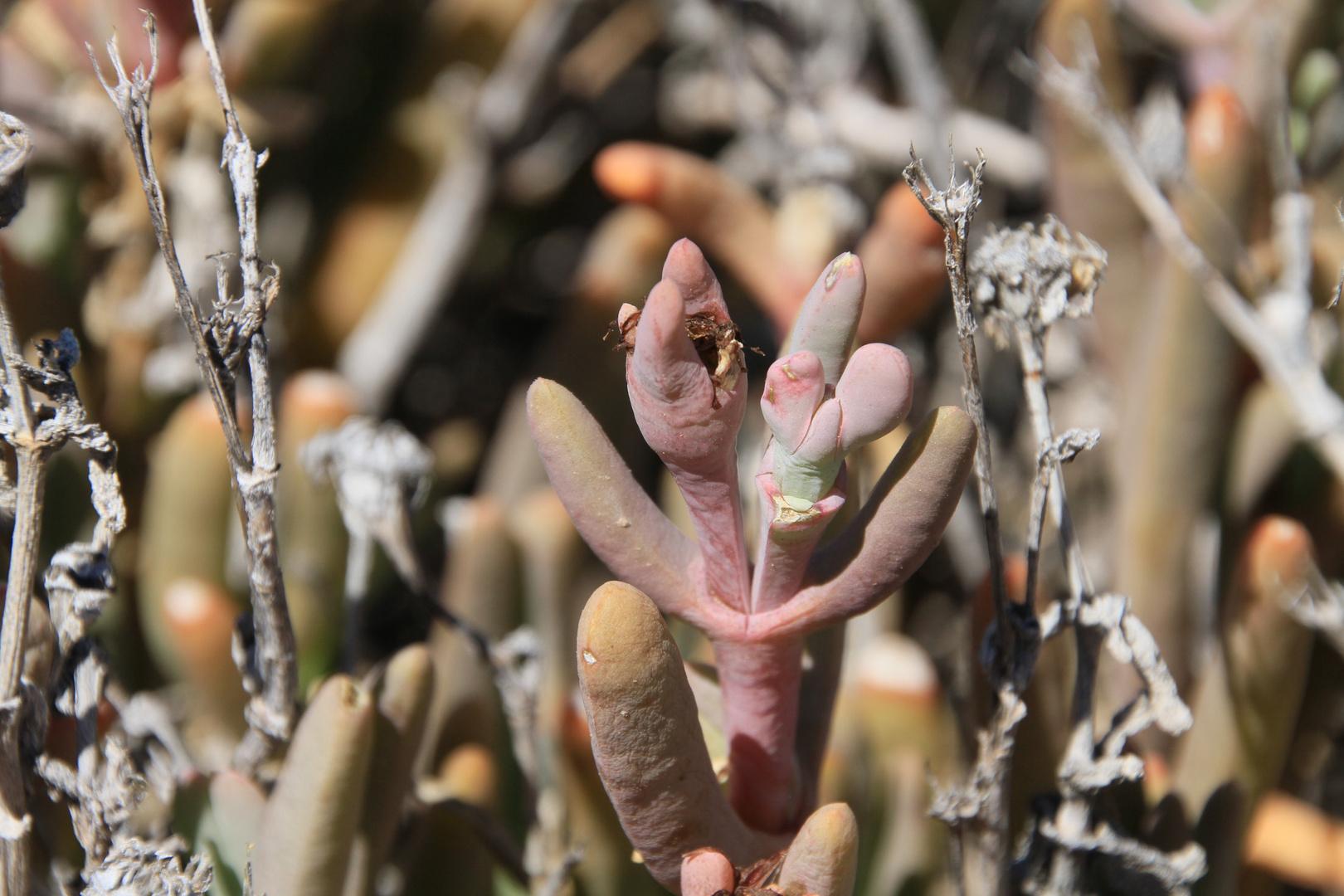 Sedum?(Am Naturstandort Provinz Mendoza/Argentinien)