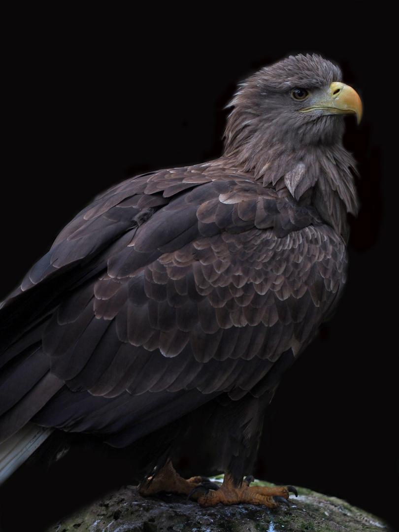 See - Adler