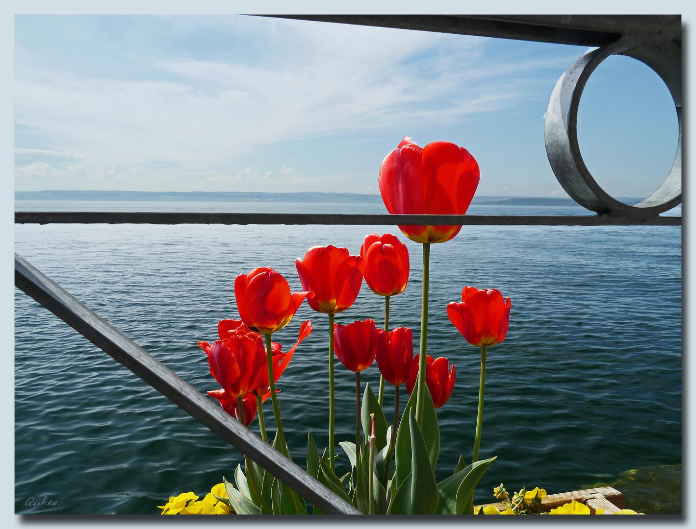 See-Tulpen