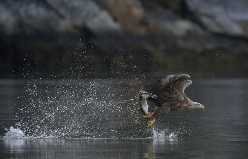 Seeadler am Romsdalfjord...