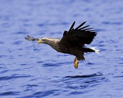 Seeadler Anflug