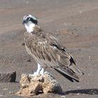Seeadler auf Boa Vista