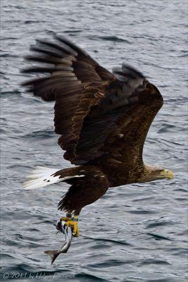 Seeadler auf der Jagt