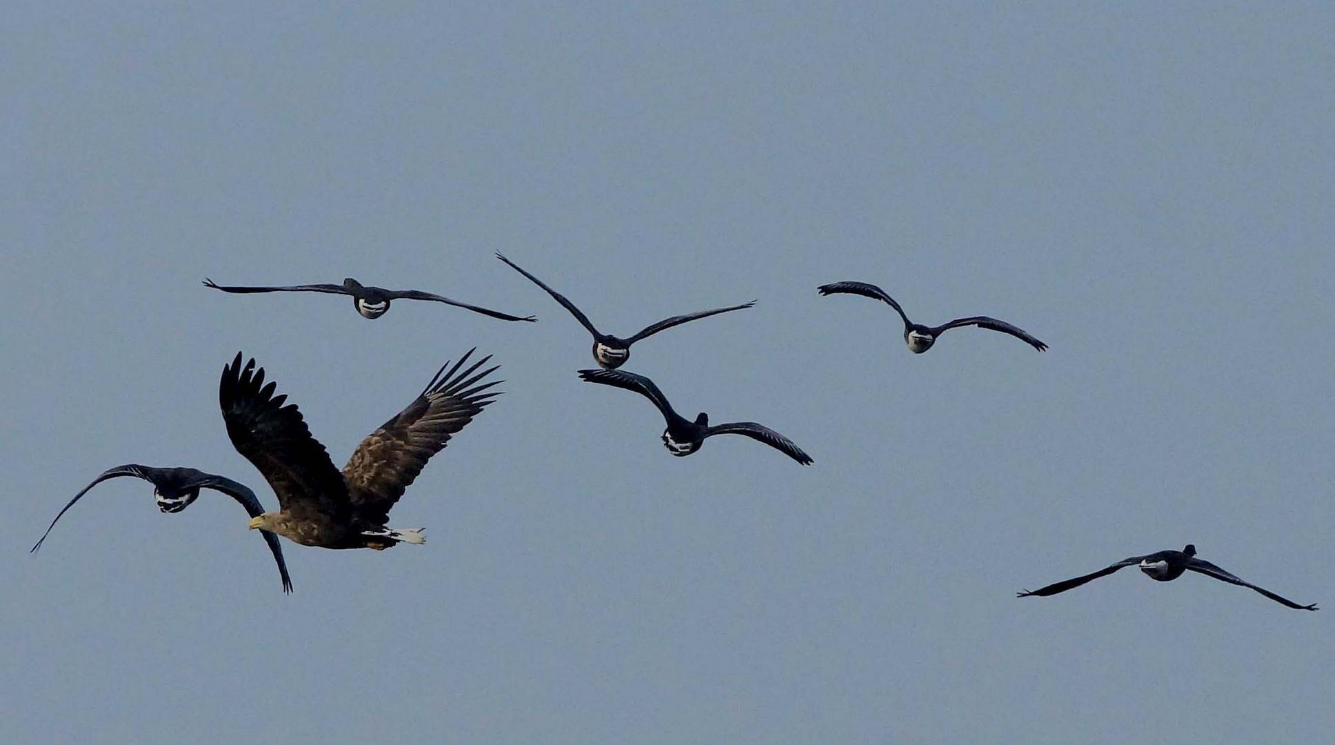 Seeadler auf Gänsefang.