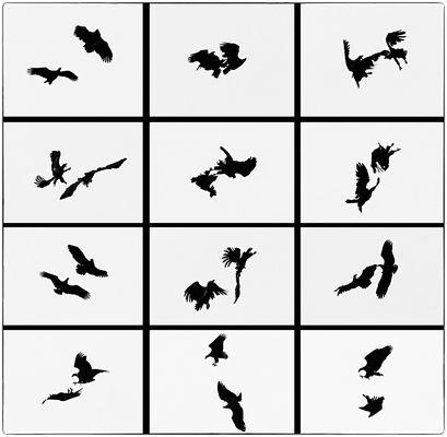 Seeadler - Balzverhalten