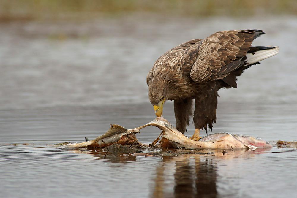 Seeadler beim Fressen 2