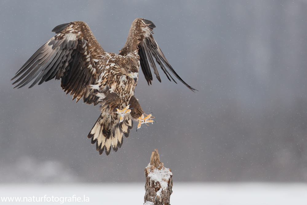 ~ Seeadler im Anflug 2013 ~
