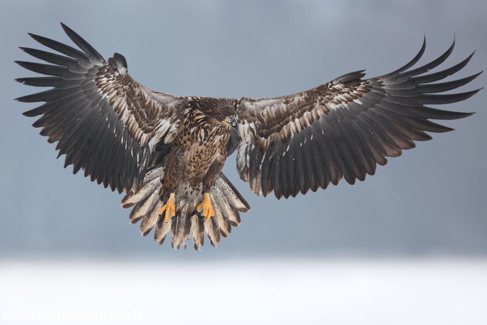 ~. Seeadler im Anflug.~