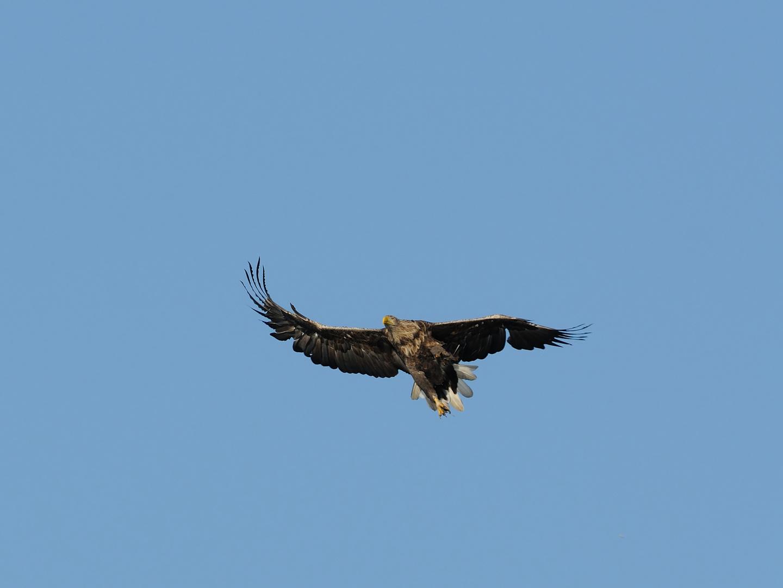 Seeadler im Anflug, verschreckt