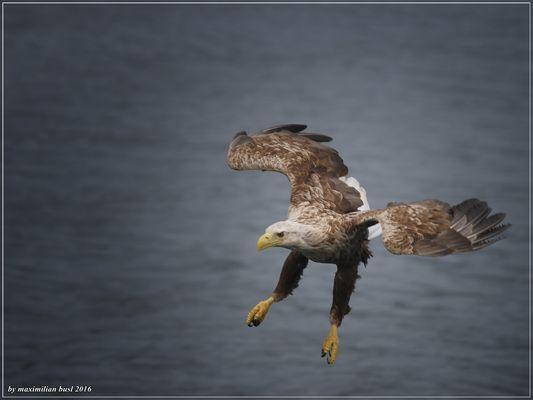 Seeadler im Fjord