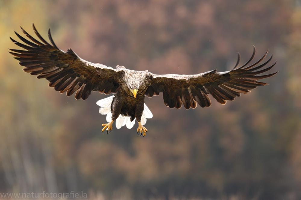 ~ Seeadler im Herbst 2013 ~
