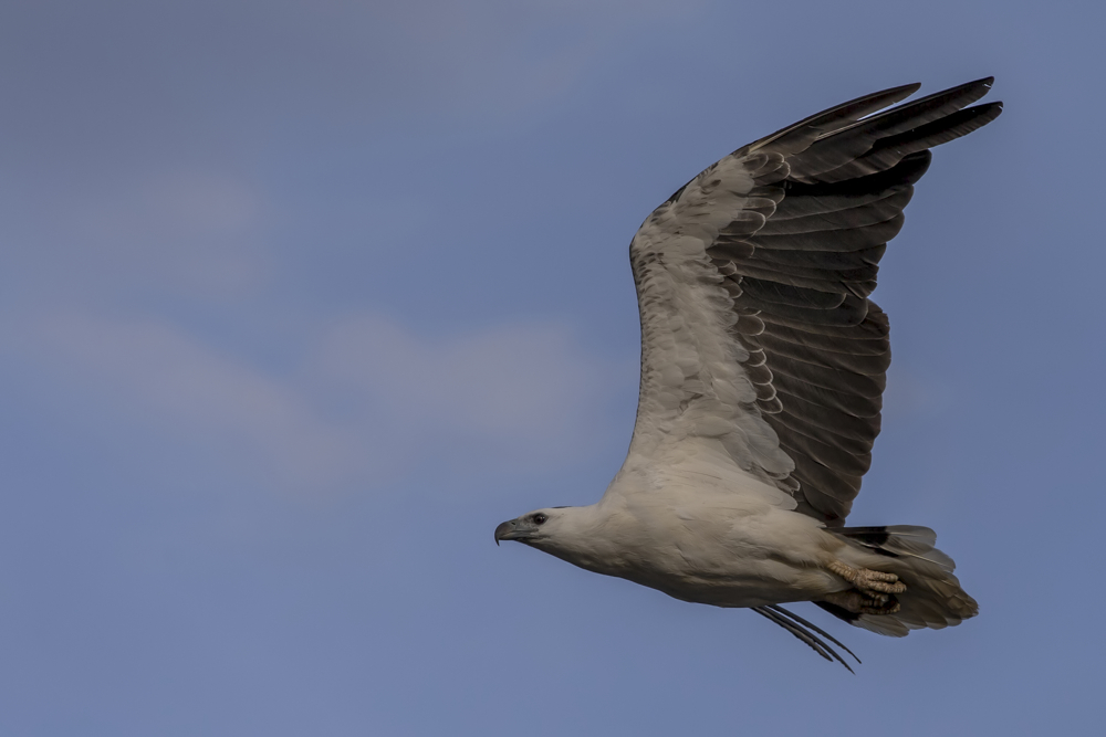 Seeadler im Vorbeiflug ...