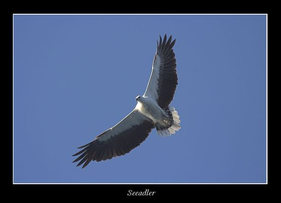 Seeadler in Australien