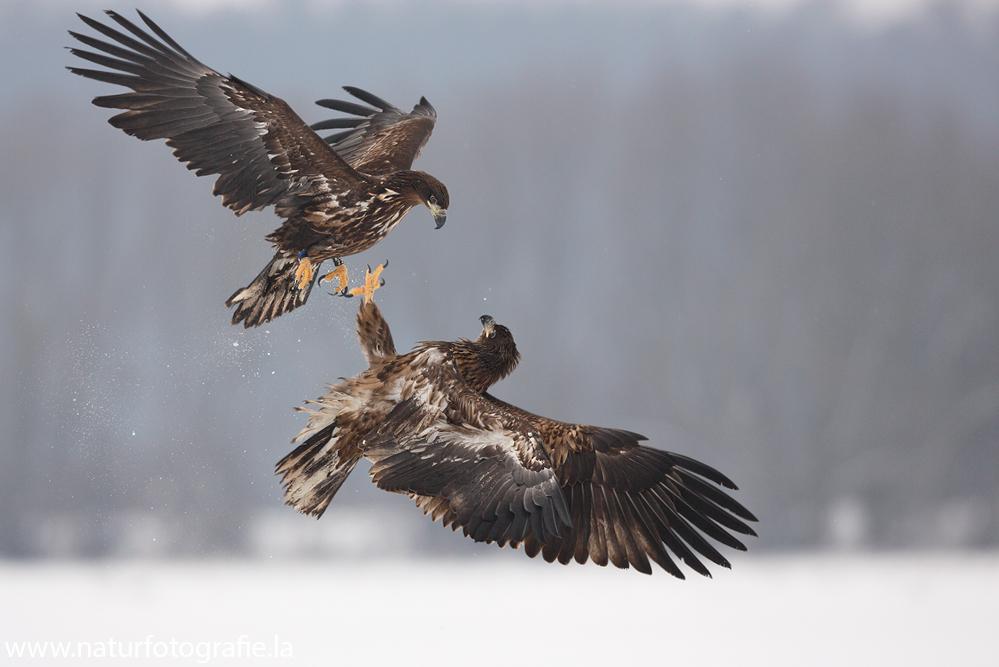 ~ Seeadler in der Luft ~