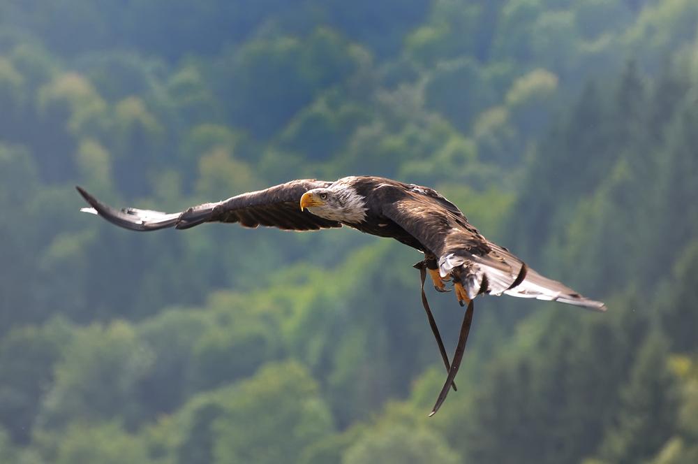 Seeadler in seinem Element