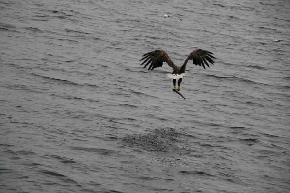 Seeadler mit Beutefang