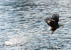 Seeadler mit Fisch