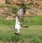 Seeadler mit Fisch auf Boa Vista