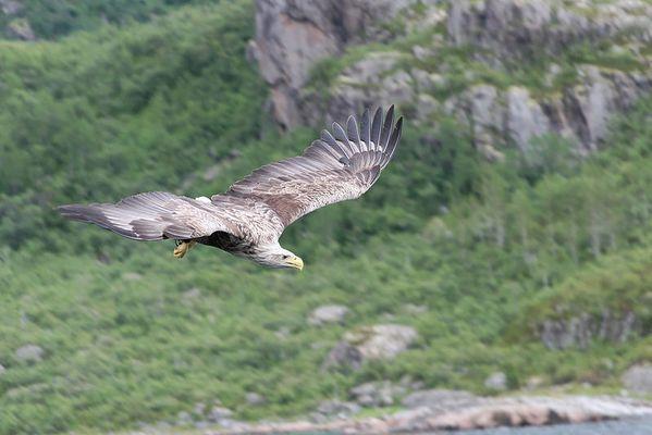 Seeadler - Norwegen Trollfjord 3