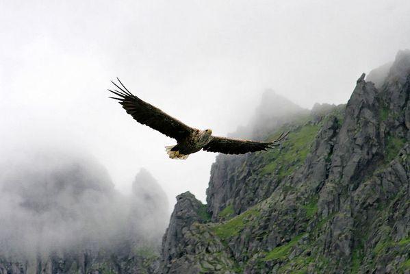 Seeadler - Norwegen Trollfjord