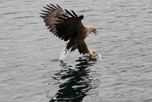 Seeadler - Norwegen Trollfjord 5