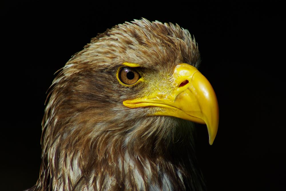 Seeadler Portrait