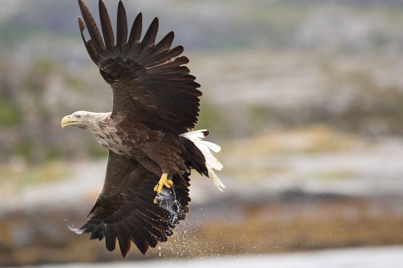 Seeadler: So bekommt der Seelachs Flügel