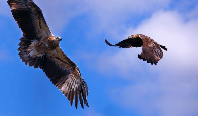 Seeadler vor Komodo