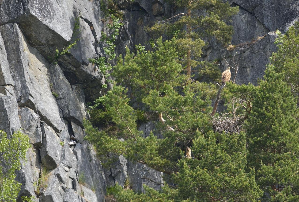 Seeadlerhorst am Romsdalfjord