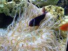 Seeanemone mit Fisch
