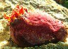 Seeapfel - Sea Apple - Pseudocolochirus axiologus