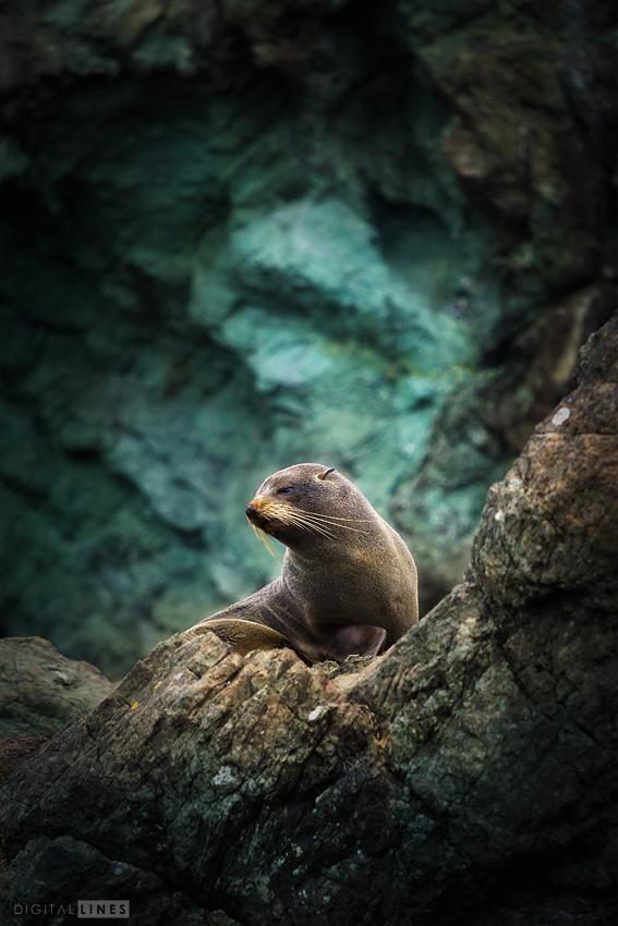 Seebärenweibchen