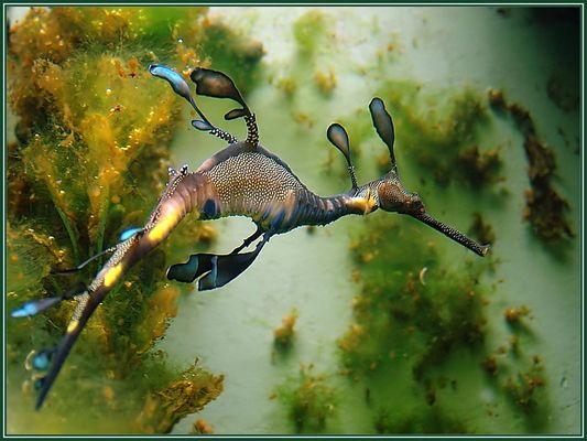 Seedrache oder Fetzenfisch