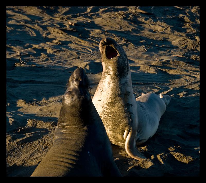 Seeelefant Jungbullen im Revierkampf