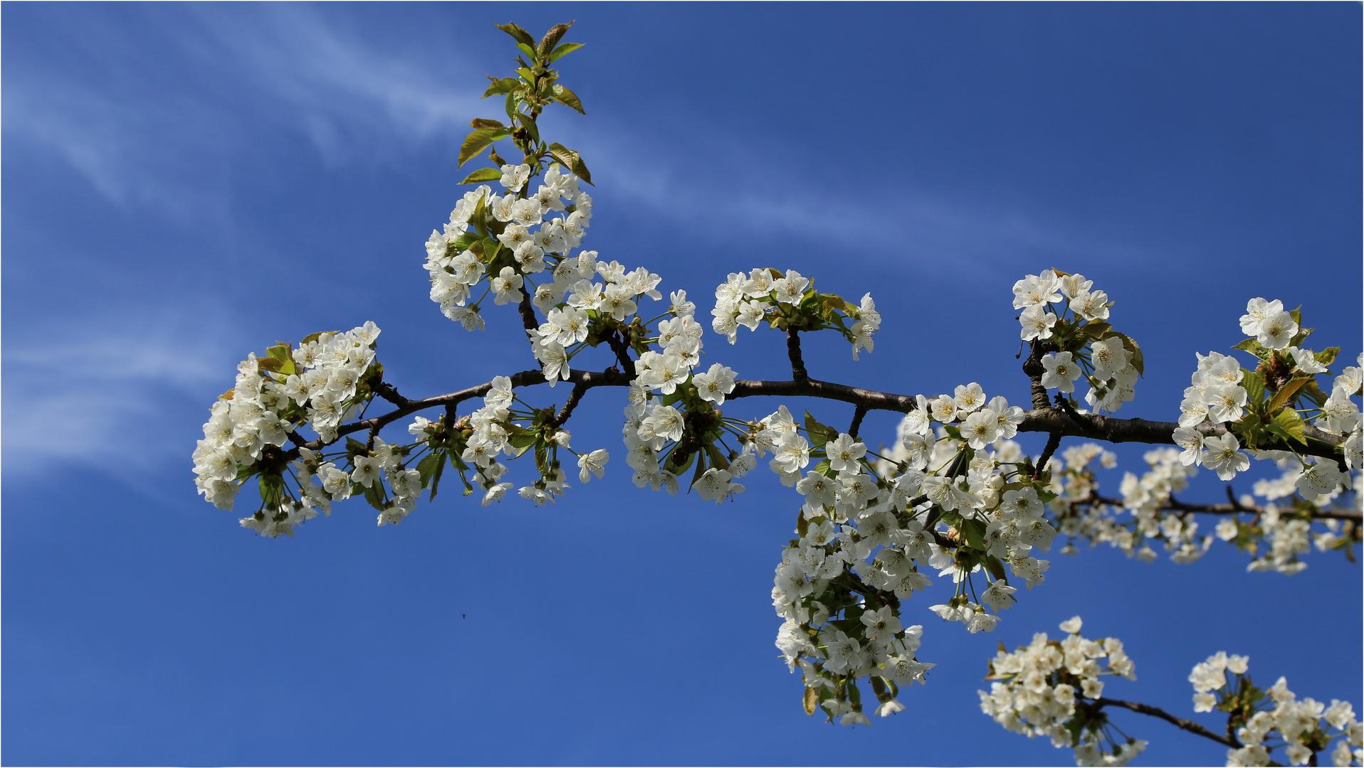 Seeheimer Kirschblüten