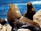 Seehund am Cape Hope