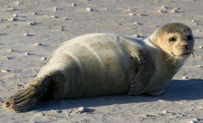 Seehund am Strand von Norddorf (Amrum)
