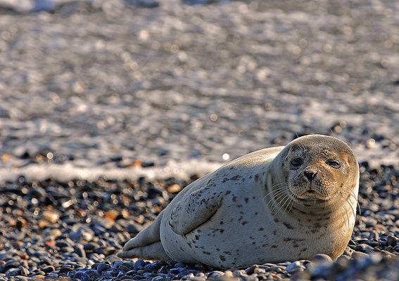 Seehund auf der Düne vor Helgoland