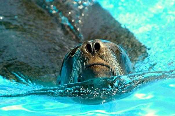 Seehund beim Wasserpflügen