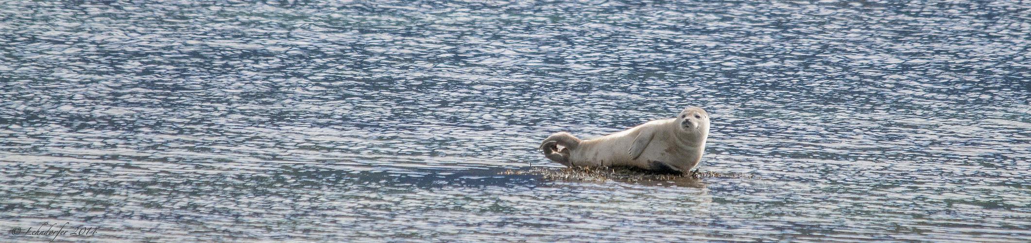 Seehund - gesehen und fotografiert in den Westfjorden in Island