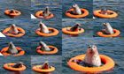 Seehund im Rettungsring